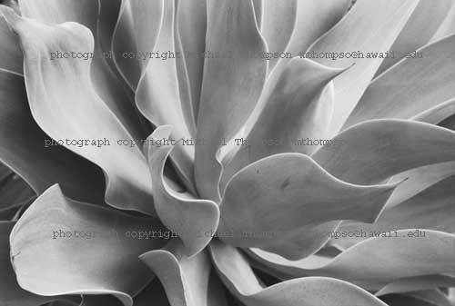 century-plant.jpg