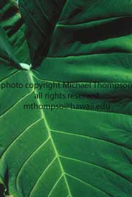 taro-leaf.jpg